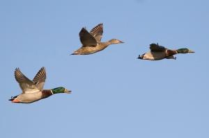 Flight (photo by Mike Baird, bairdphotos.com